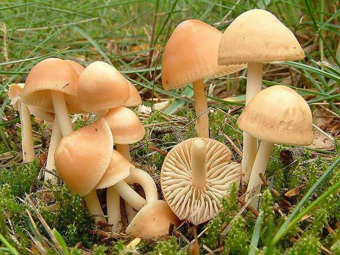 Опята луговые относятся к съедобным пластинчатым грибам и растут только на открытой, хорошо освещенной местности